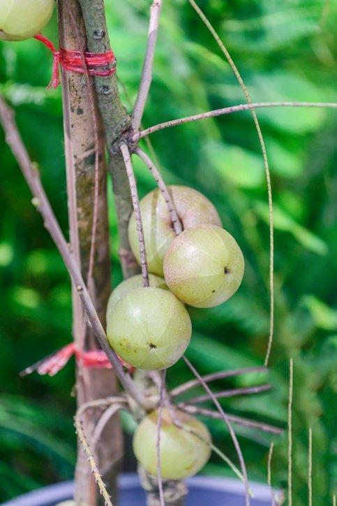 Remedios naturales prevenir canas amla